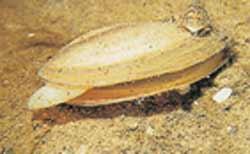 anodonte